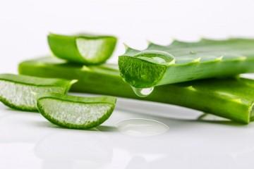 Tingkatkan Imun Tubuh dengan Konsumsi Tanaman Aloe Vera